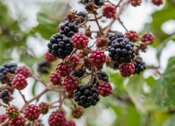 Blackberries, sloes, fungi: Sep-Oct 2013