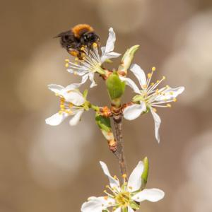 1403 bee on blackthorn blossom