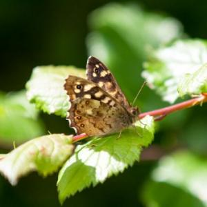 1406 speckled wood3
