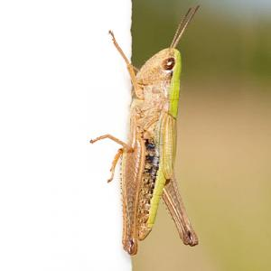 1407 common green grasshopper