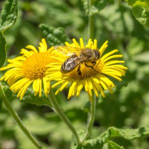 1408 Colletes fodiens