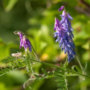 1408 tufted vetch