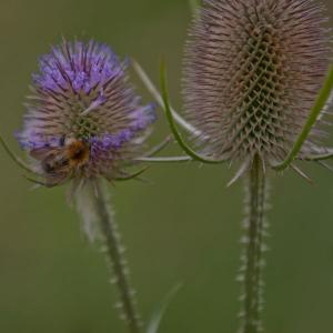 bee on teasel3