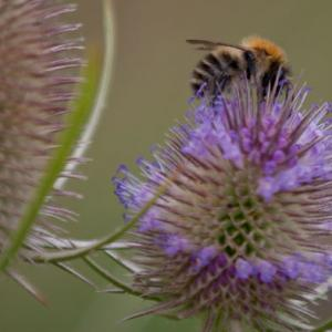 bee on teasel4