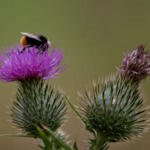 bee on thistle3