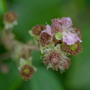 bramble flower3