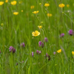 buttercup and red clover2
