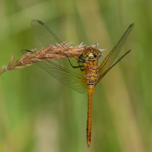 common darter2