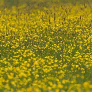 fromus buttercup meadow