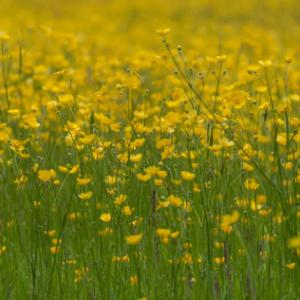 fromus buttercup meadow7