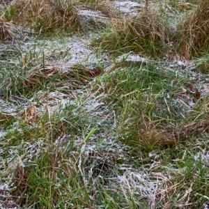 frozen tussocks