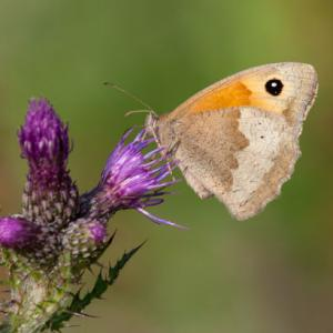 gatekeeper on thistle2