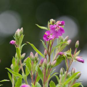 great willowherb3
