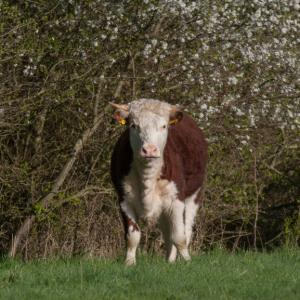 hereford stare