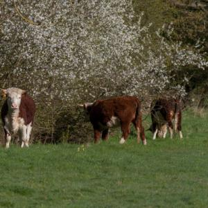 herefords and blossom2