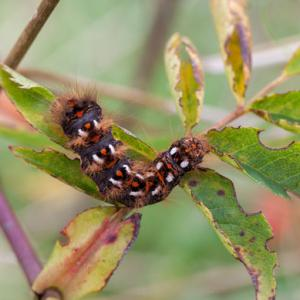 knotgrass moth caterpillar on briar