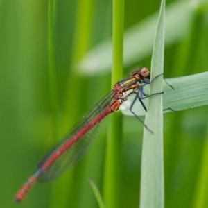 large red damselfly3