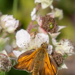 large skipper2