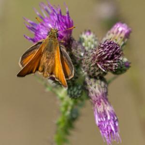 large skipper3
