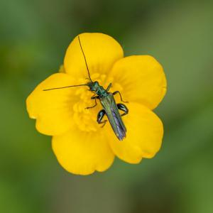 male oedemera nobilis beetle on buttercup