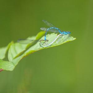 mating damsels