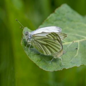 mating green veined whites