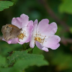 meadow brown on field rose