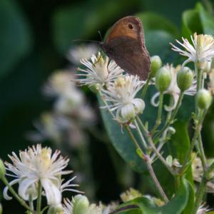 meadow brown on wild clematis