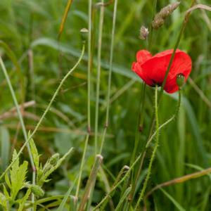 poppies in the meadow2