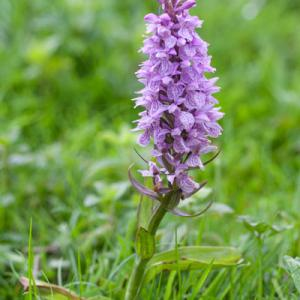 possible early marsh orchid