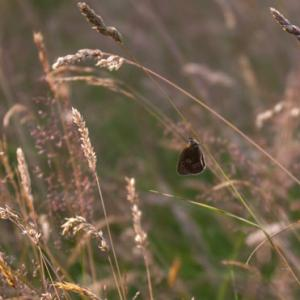 ringlet in the meadow