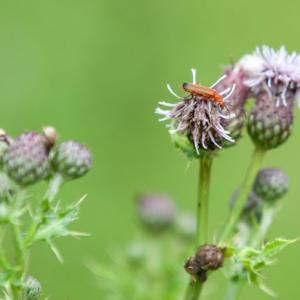 soldier on thistle