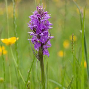 southern marsh orchid fromus valley