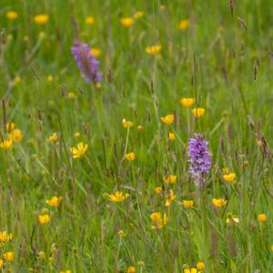 southern marsh orchids in the buttercup meadow