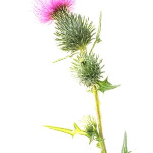 spear thistle3