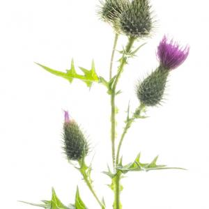 spear thistle4