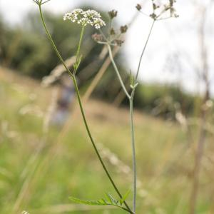 upright hedge parsley