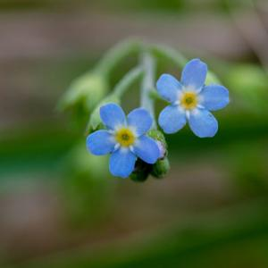 waterforget me not1