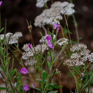 willowherb and umbellifer