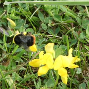 Red tailed bumblebee on bird's-foot trefoil