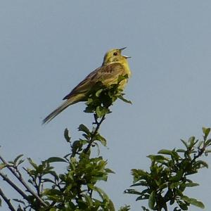 Yellowhammer singing in Moon Meadow